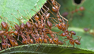 Ants working together to transport a leaf